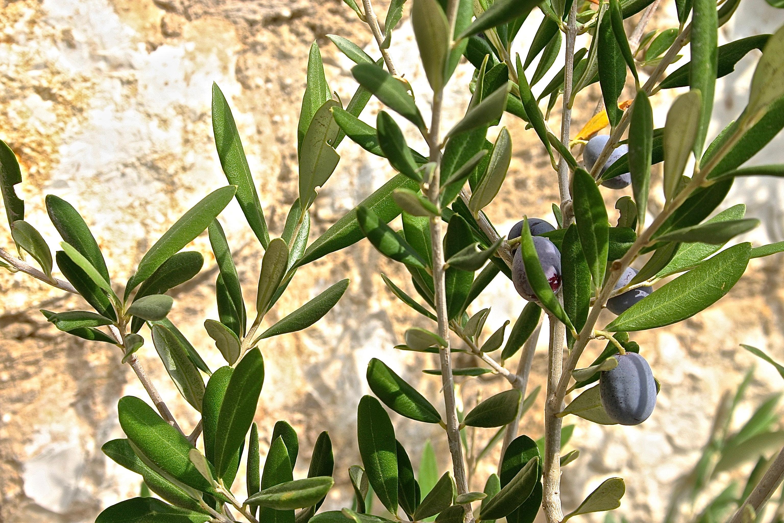 olive-image