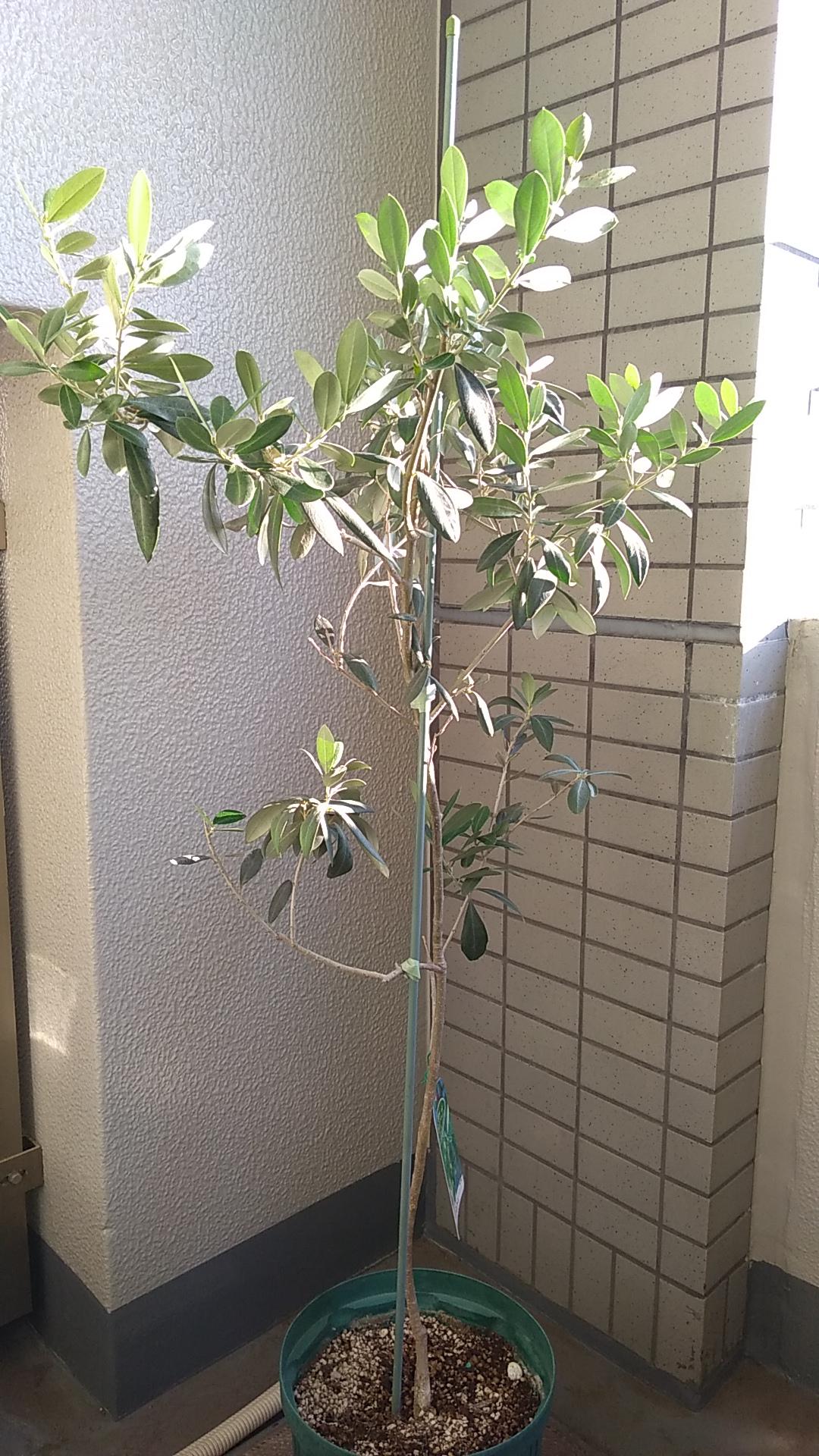 バロウニの木