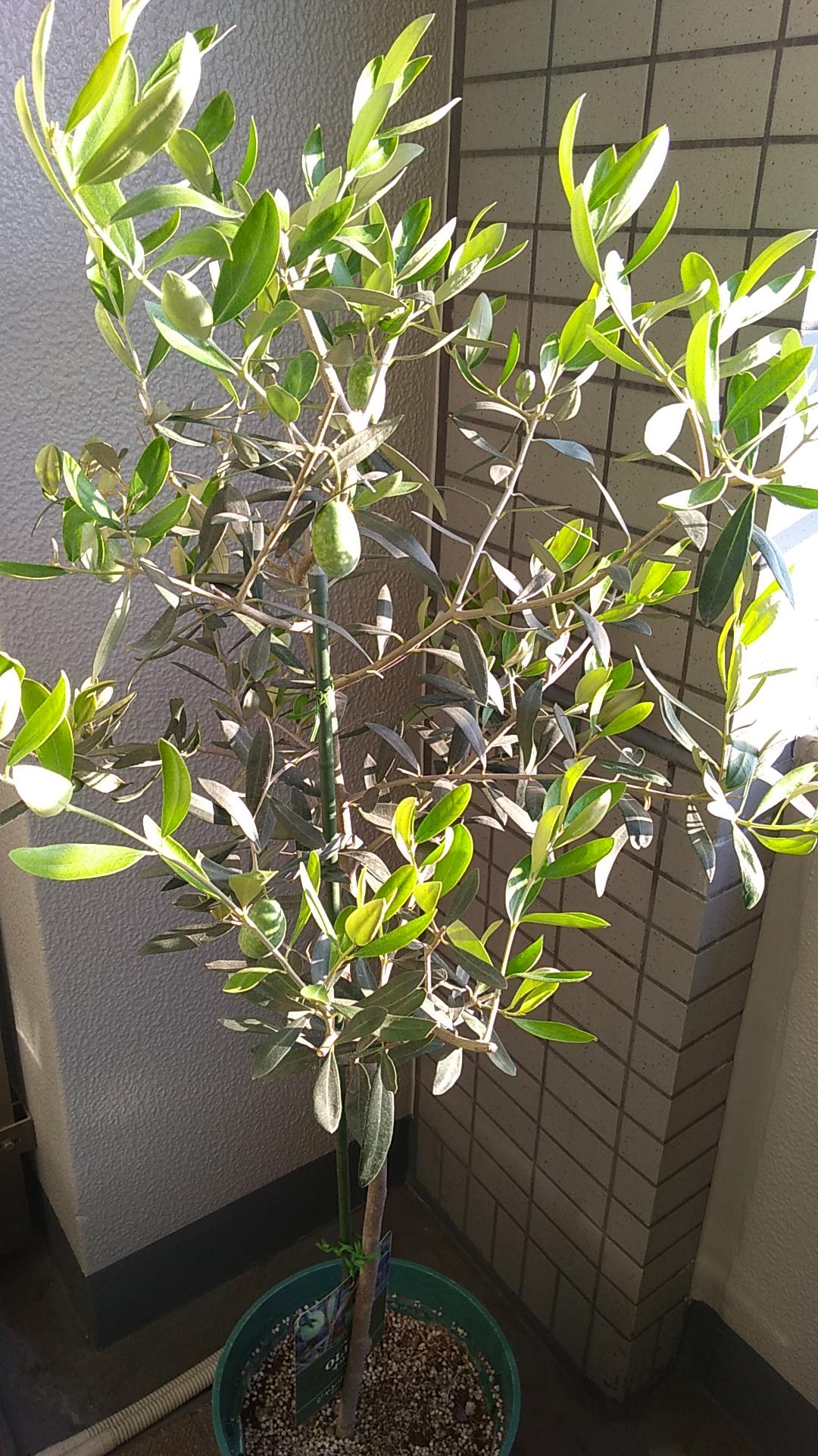 ジャンボカラマタの木